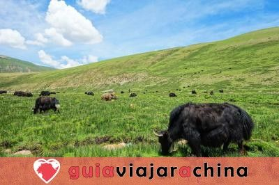 Visit a Yak Ranch