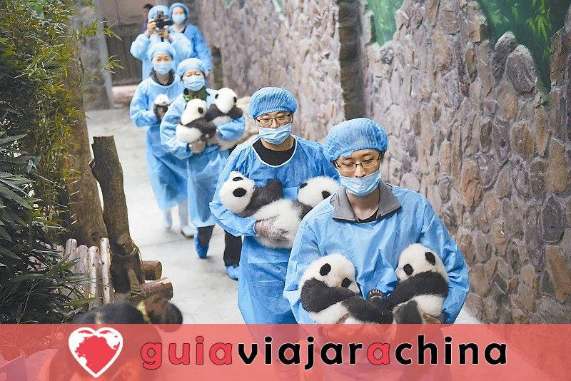 Chengdu Panda Base - la base de investigación de la cría del panda gigante 3
