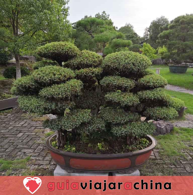 Jardín de la familia Bao - El mayor jardín de bonsáis de China 4