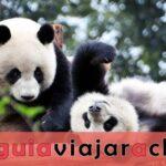 Chengdu Panda Base - la base de investigación de la cría del panda gigante
