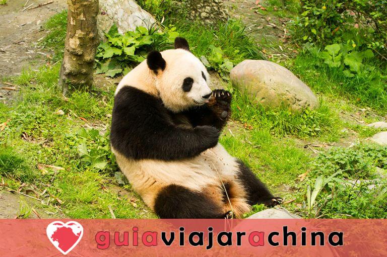 Valle del Panda de Dujiangyan 3