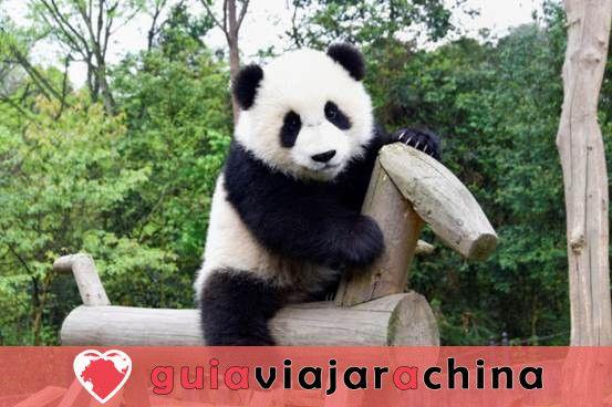 Base del Panda de Dujiangyan (Arca del Panda de Dujiangyan) 2