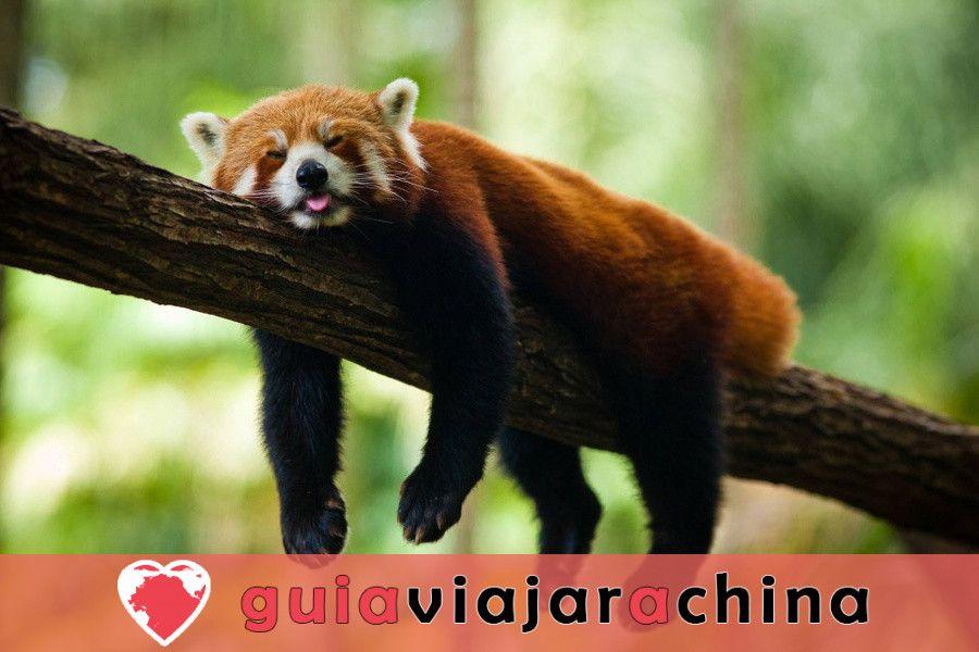 Chengdu Panda Base - la base de investigación de la cría del panda gigante 4